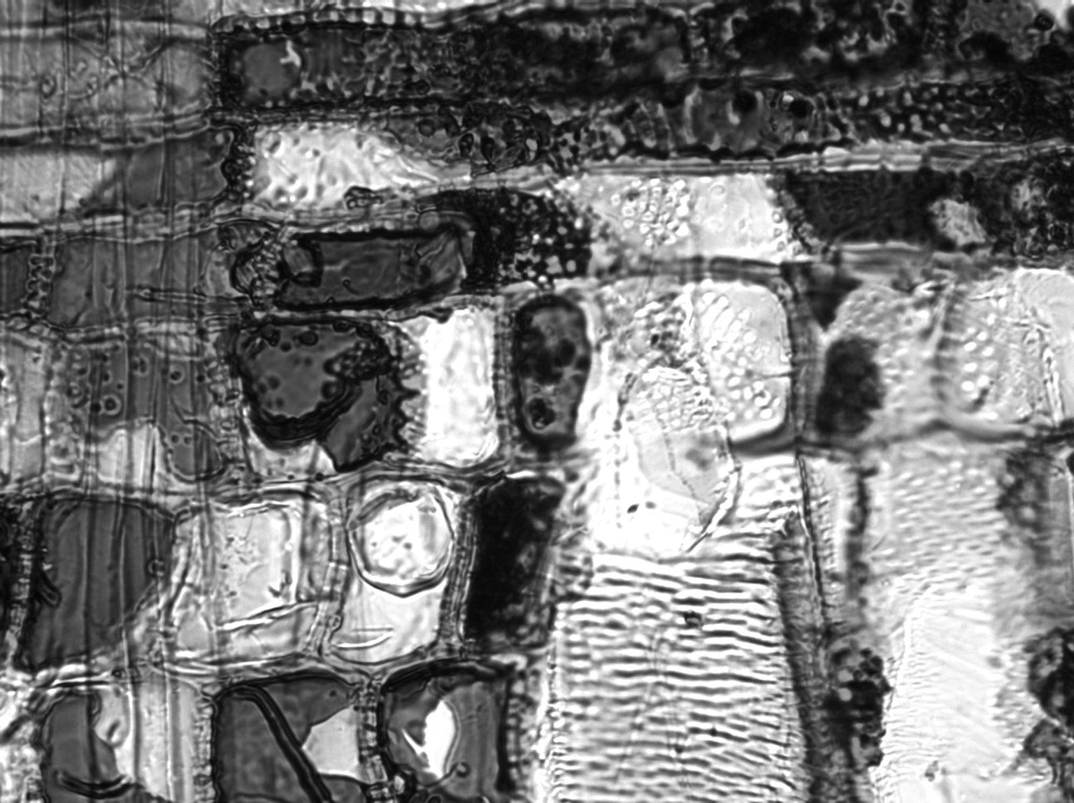 PHYLLANTHACEAE Cleistanthus oblongifolius