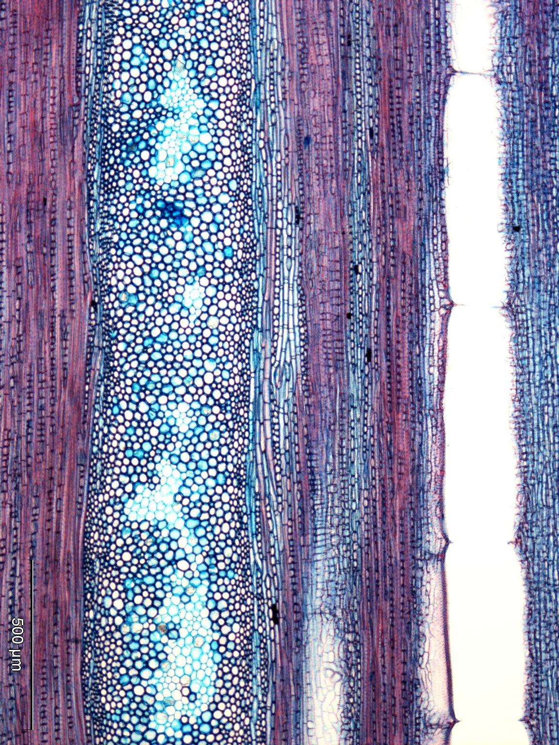 ICACINACEAE Polyporandra scandens